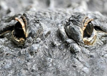 Honderden krokodillen ontsnapt na orkaan Karl
