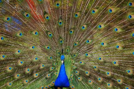 pauw © http://farm1.static.flickr.com/252/518586233_11544f0cf0.jpg (audiinsperation)
