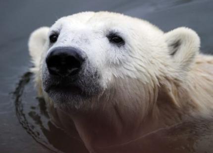 Populariteit Knut kost dierentuin geld