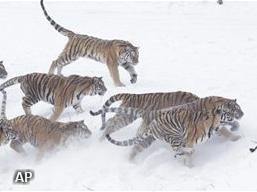 Elf Siberische tijgers dood in Chinese dierentuin