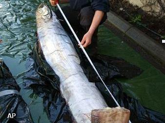 Haring van 3,65 meter gevonden in Zweden