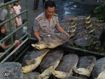Politie Indonesië neemt soepschildpadden in beslag