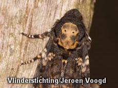 Doodshoofdvlinder op twee plaatsen gespot