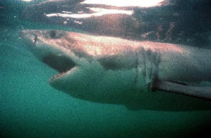 Recordaanvallen door haaien in 2010