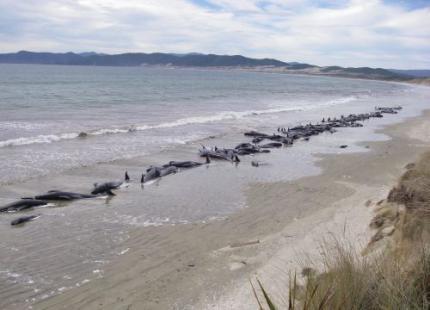 Ruim 100 grienden gestrand in Nieuw-Zeeland