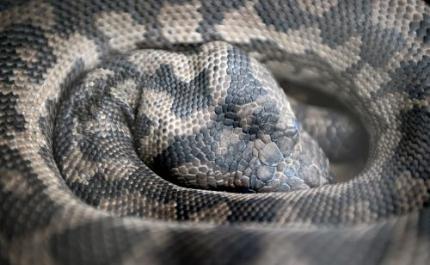Mannen opgepakt met veertig pythons in koffer