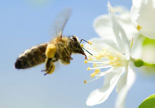 Uitbraak bijenziekte vuilbroed in Limburg