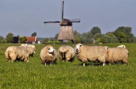 Boer treft geslachte schapen aan in weiland