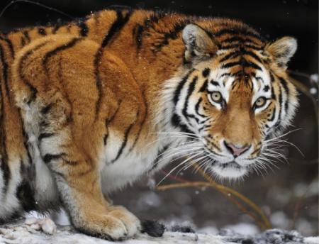 Tijger doodt verzorgster in Keulse dierentuin