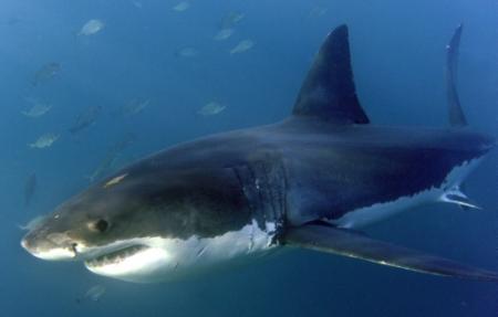Witte haai houdt zwemmers op rots