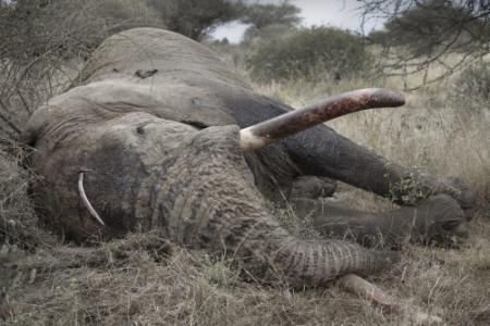 Stropers doden inéén week 86 olifanten
