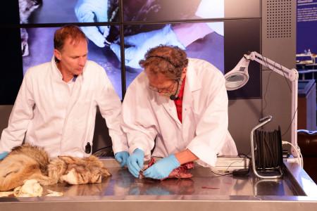 Naturalis onderzoekt wolf