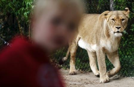 Koeweiter wil ontsnapte leeuw een lift geven