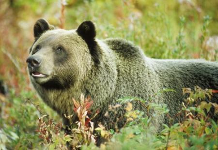 Russische herder (80) geeft beer kopstoot