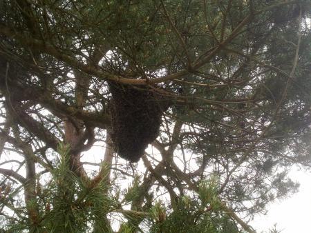 Bijennest in een boom (25.000 bijen)