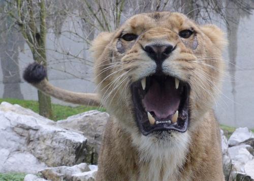 Verhuurder is twee leeuwen kwijt (Foto: ANP)