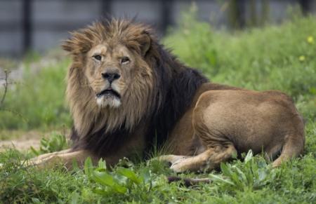 Bende met stalen zenuwen steelt leeuw