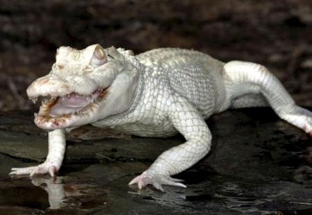 Krokodil'Michael Jackson' doodde visser