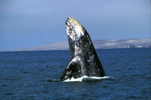 Grijze walvis legt wereldreis af