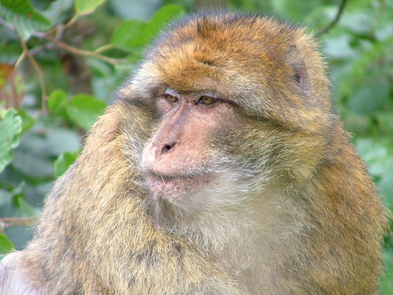 Vrouw klaagt aap aan wegens aanranding (Foto: Nmwatson, Wikimedia Commons)