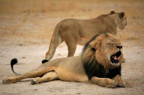 Ook broer van leeuw Cecil gedood
