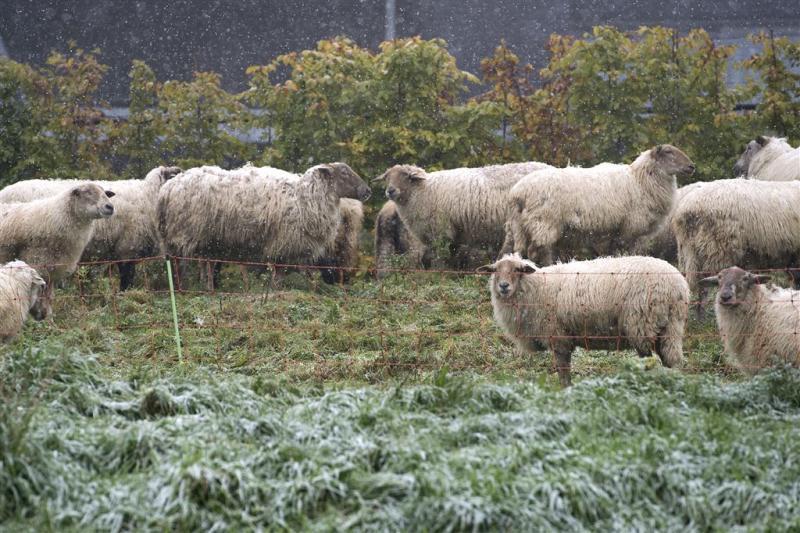 Kudde van 65 schapen gestolen in Groningen