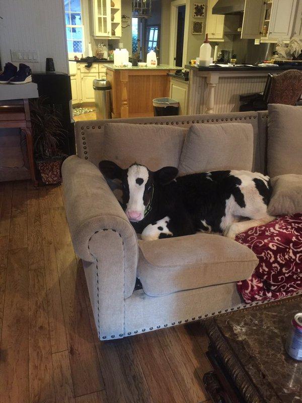 Koe ligt op de bank in huiskamer