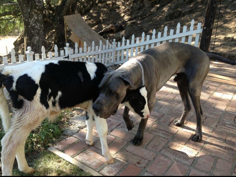 Foto van de koe en de hond Leo, gemaakt door Shaylee