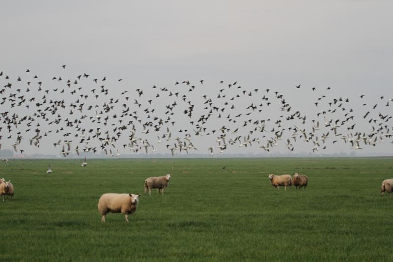 Zwerm vogels boven een kudde schapen  (Foto: Klapmongeaul)