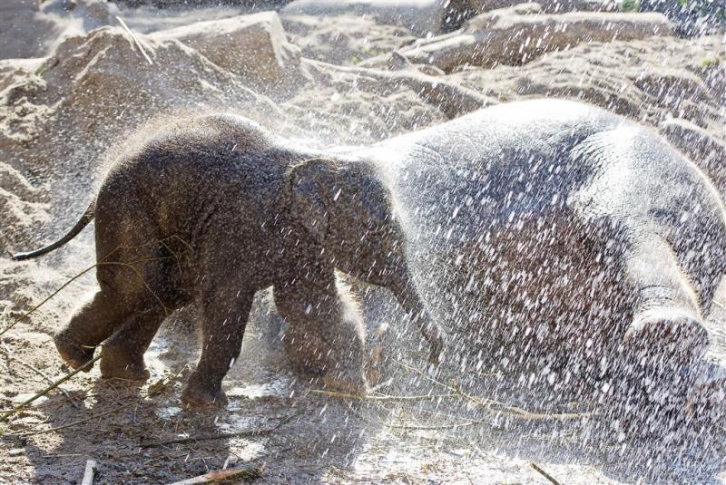 Vierjarige olifant Mumba in Artis overleden