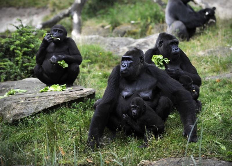 Oudste gorilla van Apenheul overleden