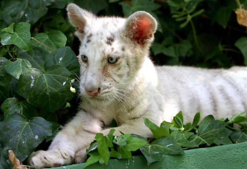 Dood twee tijgers Krim 'schuld van Oekraïne'