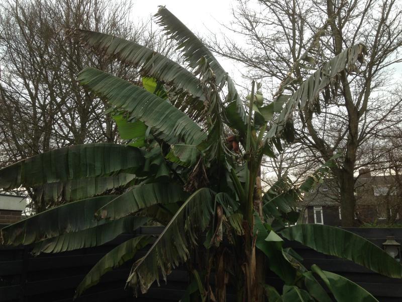 De bananenboom van Klapmongeaul (Foto: Klapmongeaul)