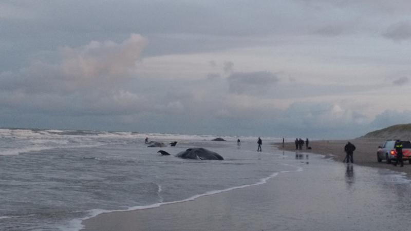 dode potvissen op Texel (Foto: nijnja)