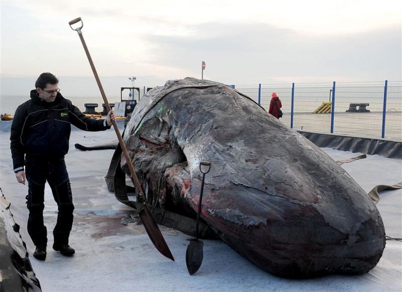 'Dode potvissen op Duits eiland uitgehongerd'