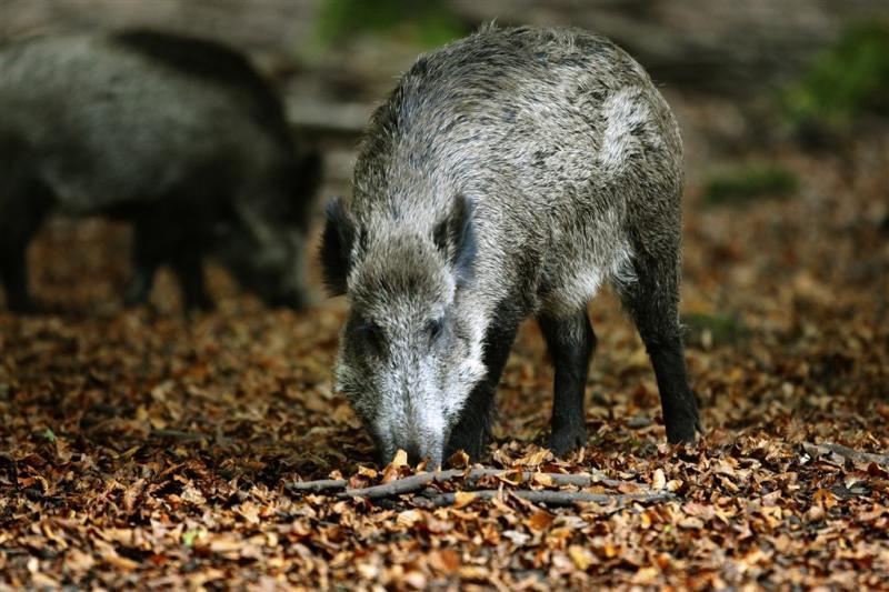A79 dicht voor vangen wild zwijn