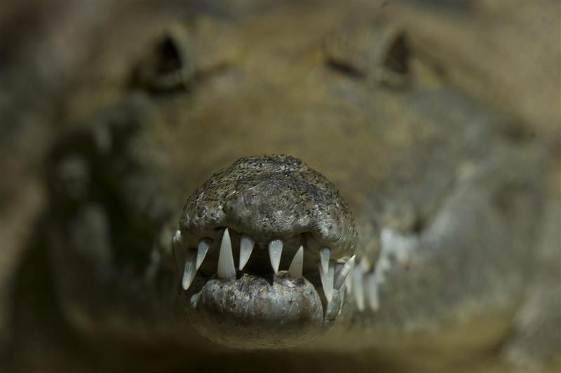 Geld drugshandelaren bewaakt door krokodillen
