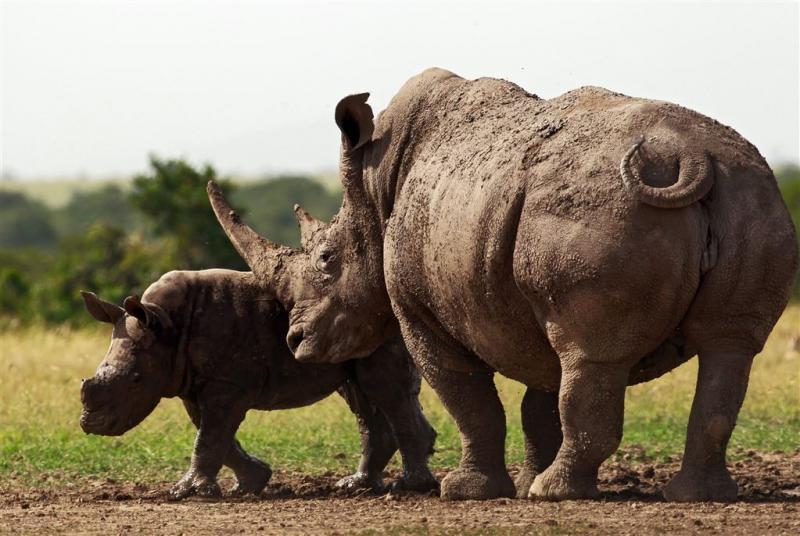 Nederland 'doneert' 2 neushoorns aan Rwanda