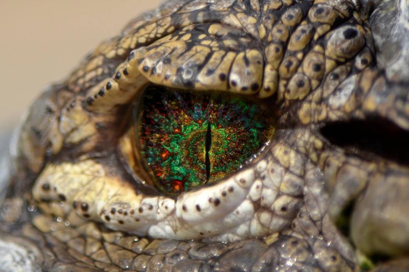 Paint het nieuws: ToT (krokodil die LSD heeft gebruikt)