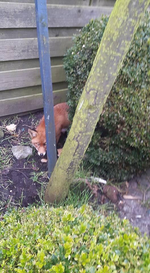Ineens een vos in je achtertuin (Foto: Jan Boon)