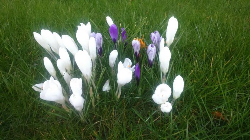 Witte krokussen in bloei  (Foto: DJMO)