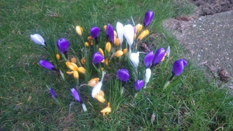 Kleurige krokussen in bloei  (Foto: DJMO)