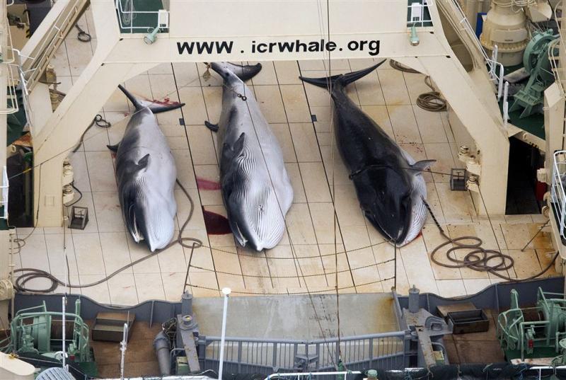 Japanners vangen honderden walvissen