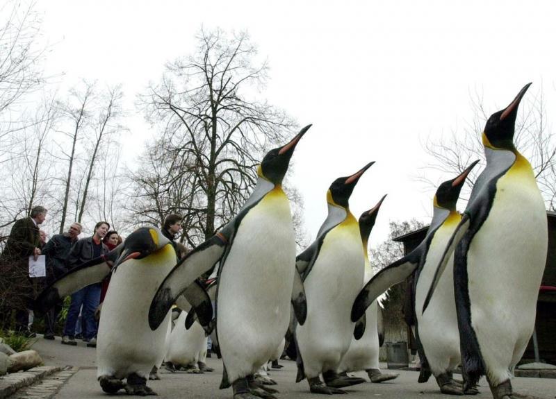 Pinguïnpaar Stan en Olli verhuist