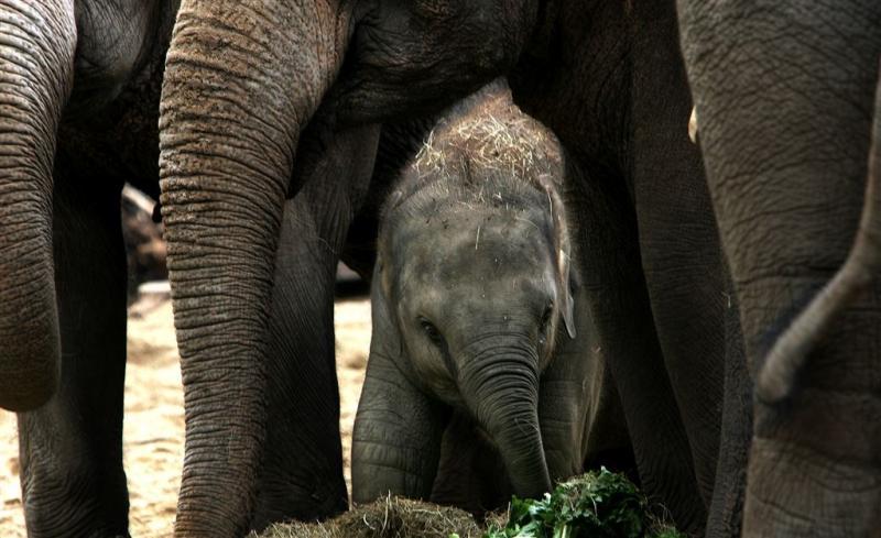 Artis verwacht olifantenbaby