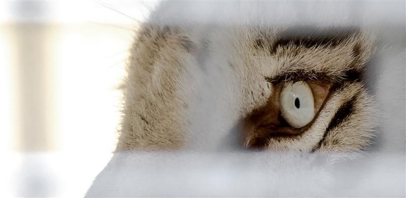 Twee tijgers ontsnapt uit opvang in Friesland