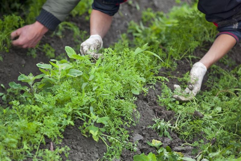 WHO pleit onkruidverdelger Roundup vrij