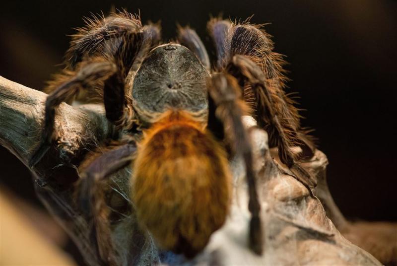 Tarantula's veroorzaken paniek in vliegtuig
