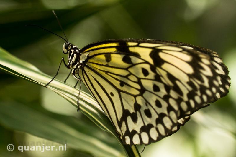 Vlinderpracht in de Vlindertuin Leidschendam (Foto: Duco)