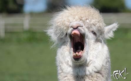 Zomaar een alpaca